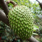 Гуанабана - фрукт, который не лечит рак