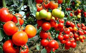 Полезные помидоры